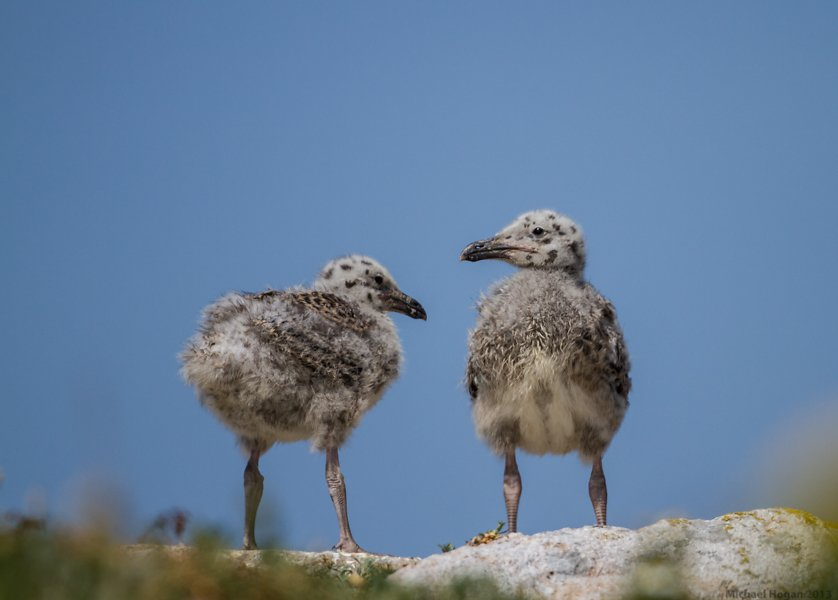 Great Black Backed Gull Chicks