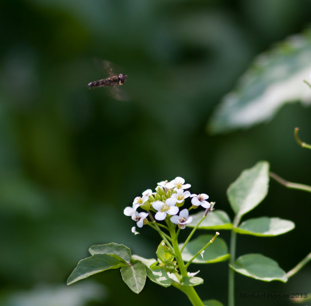 Hoverfly on Watercress