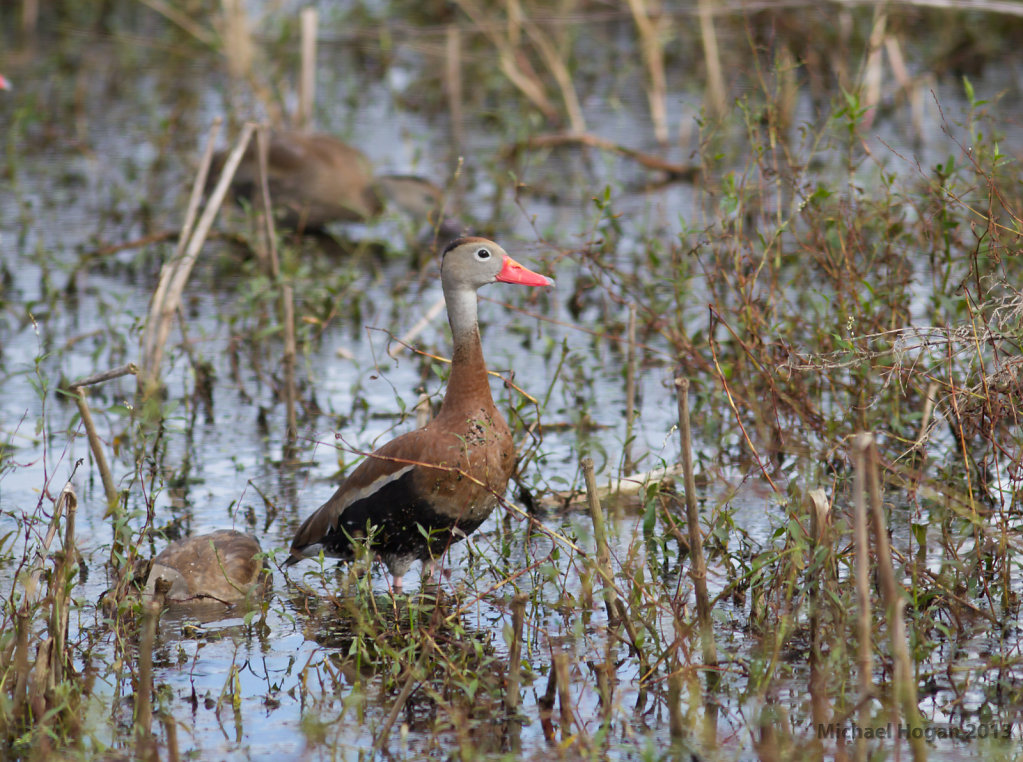 White bellied Whistling Duck